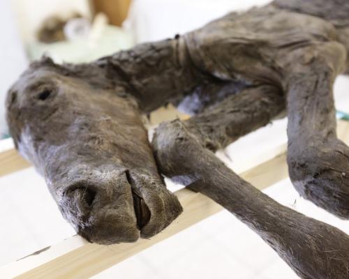 世界初の大発見!ロシアより、氷河期の動物からの?